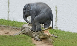 Are You A Crocodile Or A Elephant?